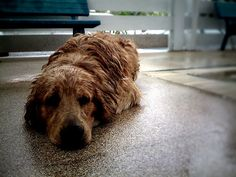 This is my Golden Retriever tired from swimming. #goldenretriever #dog