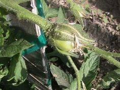 First Pollinated Tomato