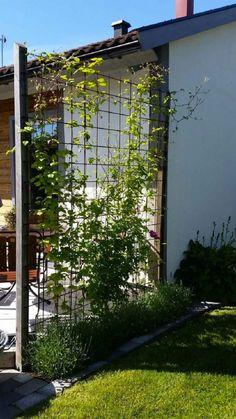 Spalje clematis och lavendel clematis lavendel och Spalje is part of Diy garden trellis - Back Gardens, Outdoor Gardens, Garden Trellis, Plant Trellis, Clematis Trellis, Pergola Shade, Diy Pergola, Retractable Pergola, Outdoor Pergola
