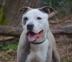 3 / 19     Petango.com – Meet Lucas, a 1 year Terrier, American Pit Bull / Mix available for adoption in LYNNWOOD, WA Contact Information Address  15305 44th Avenue W, LYNNWOOD, WA, 98087  Phone  (425) 787-2500  Website  http://www.paws.org  Email  info@paws.org