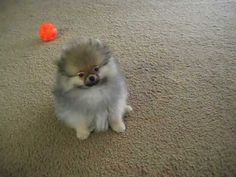 Cute Pomeranian Jumped
