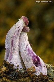 Superb Nature - blooms-and-shrooms: Laccaria amethystina by. Mushroom Art, Mushroom Fungi, Wild Mushrooms, Stuffed Mushrooms, Glowing Mushrooms, Mushroom Pictures, Slime Mould, Plant Fungus, Unusual Plants