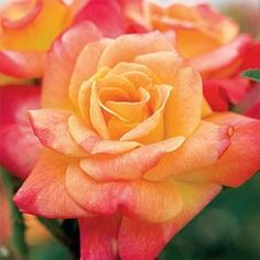 Spring Hill Nurseries 2 in. Pot Joseph's Coat Climbing Rose, Multi-colored Flowers Live Potted Plant - The Home Depot