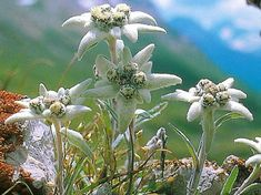 The legend behind the Edelweiss flower.