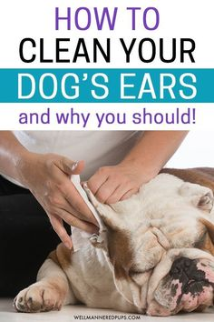 Dog care tips for cleaning your dog's ears. Learn why and how to clean your dog's ears. Cleaning Dogs Ears, Dog Cleaning, Dog Health Tips, Dog Health Care, Health Advice, Dog Shaking, Pet Care Tips, Pet Tips, Dog Wash