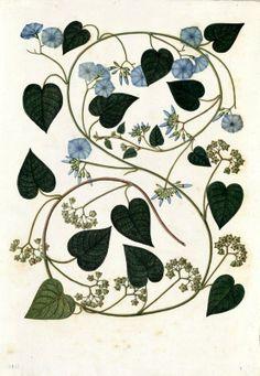 Evolvulus. Proyecto de digitalización de los dibujos de la Real Expedición Botánica del Nuevo Reino de Granada (1783-1816), dirigida por José Celestino Mutis: www.rjb.csic.es/icones/mutis. Real Jardín Botánico-CSIC.