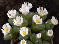 Conophytum longum {SB 1066, syn. Ophthalmophyllum longum} | by Succulents Love by Pasquale Ruocco (stabiae)