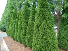 Best Medium Sized Privacy Trees To Block Nosey Neighbors Privacy Trees Fastest Growing Plants For Privacy - Plants Ideas Hedge Trees, Evergreen Hedge, Privacy Trees, Trees And Shrubs, Privacy Hedge, Best Trees For Privacy, Evergreen Trees For Privacy, Shrubs For Privacy, Boxwood Hedge