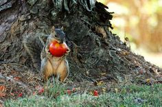 7 ways to keep squirrels from eating your tomatoes We've got a battle plan for all of you engaged in the Squirrel Wars.
