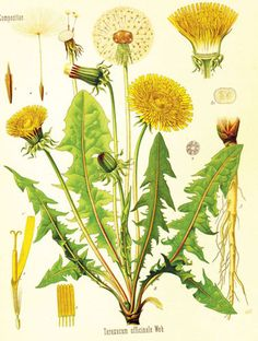 Dandelion history and it's many uses, along with a recipe!