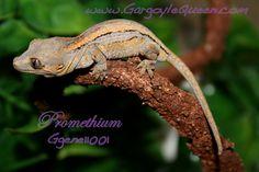 GQR Gargoyle (R. auriculatus) baby.