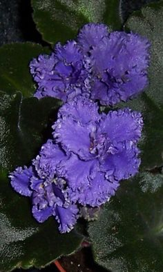 african violet   Harmony's Blue Frills pair of leaves