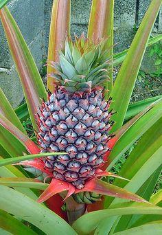 Pineapple that we grew in Kona