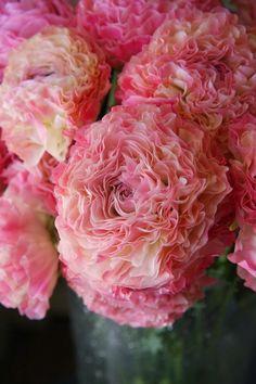 Ranunculus 'Vigor Pink'