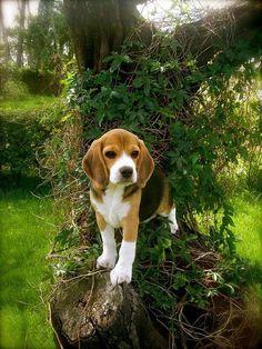Los beagle son una raza de perros de tamaño pequeño a mediano. Tienen un aspecto similar al foxhound, pero de menor tamaño, con patas más cortas y orejas más largas y suaves.