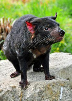 Tasmanian Devil - http://www.facebook.com/pages/Pour-la-protection-des-animaux-et-de-la-nature/120423378016370