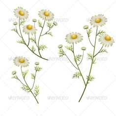 chamomile flower drawings | Camomile Flowers - Flowers & Plants Nature