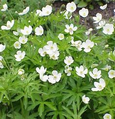 Meadow anemone, or Anemone canadensis. White single flowers bloom from mid-spring to early summer. Perennial grows to 18 inches in rich soil in moist, bright shade or dry shade. Hardy zones 4 to Planting Shrubs, Planting Flowers, Zone 8 Plants, Part Shade Plants, May Flowers, Single Flowers, Styles Courts, Deer Resistant Plants, Variegated Plants