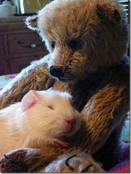 Did you know you can adopt a Guinea Pig from the Houston SPCA? Call them and check it out. The thought of a homeless Guinea Pig is just too sad. Hamsters, Rodents, Animals And Pets, Baby Animals, Funny Animals, Cute Animals, Baby Guinea Pigs, Guinea Pig Care, Guinea Pig Bedding