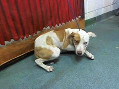 SUPER URGENT - BOOMER  (A1603821) I am a male white and tan Terrier mix.   The shelter staff think I am about 9 months old.   I was found as a stray and I may be available for adoption on 04/01/2014. — hier: Miami Dade County Animal Services. https://www.facebook.com/urgentdogsofmiami/photos/a.318535068180903.84492.191859757515102/742917129076026/?type=3&theater