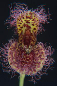 Pleurothallis villosa - Flickr - Photo Sharing!