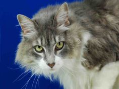 Meet RAYNE, a Petfinder adoptable Domestic Long Hair Cat | Fort Collins, CO | Petfinder.com is the world's largest database of adoptable pets and pet care information....
