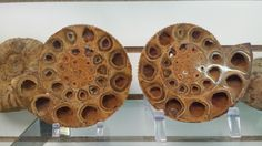Matched set of Ammonite Fossils 350 Mill Yrs Old from Morocco can be found at JP Gems and Jewelry in Holland, MI.