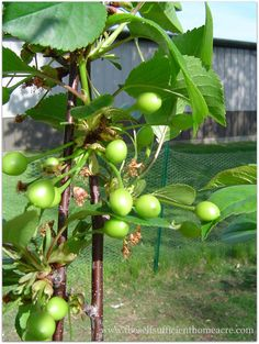 Fruit Trees for Self Sufficiency/ Why Grow Your Own Fruit? Many people are interested in growing more of their own food to increase self sufficiency. Much of what we buy from the grocery store is grown with pesticides and unsustain…