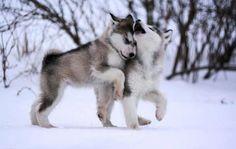 Schöne Hunde, verliebt, im Schnee.