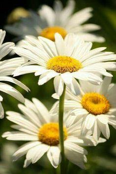 Sorte de fleurs marguerite