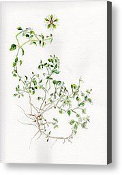 Chickweed Painting Canvas Prints - Chickweed Herb Canvas Print by Doris Blessington