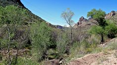 Cottonwood Trees along Lewis & Pranty Creek bordering Apache Trail