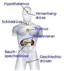 Das Hormonsystem   Anatomie - gesundheit.de