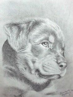 pencil drawing of rottweiler   pencil drawing of rottweiler puppy ...