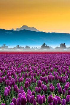 Skagit Valley tulips and Mount Baker, Washington, USA