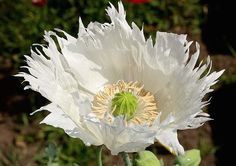 Round Pricklyhead Poppy 'Persian Princess' (Papaver hybridum)
