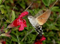 Humming-bird Hawk Moth: Super cool moth. Totally resembles a hummingbird when you see it in action. Saw one outside my mother-in-laws the other day.
