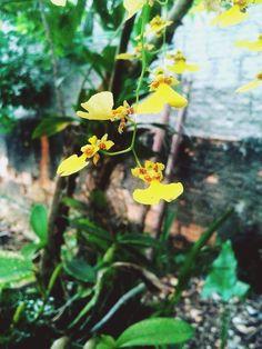 Mini Orquídea Amarela