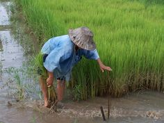 Country side - Chiang Mai - Rice paddy