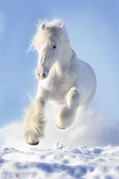 White horse with long mane and pretty white feathering silky hair on his legs, thundering in a run over the snow covered plain! Beautiful horse!