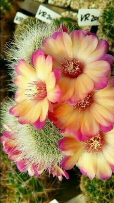 Cacti And Succulents, Planting Succulents, Planting Flowers, Unusual Flowers, Beautiful Flowers, Cactus House Plants, Colorful Plants, Desert Plants, Desert Rose