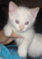 Easter is an adoptable Ragdoll Cat in Dallas, TX. Easter is the only male in a litter of three Ragdoll X Tonkinese kittens. Although he looks like he is pure white, he will eventually get his red 'p...