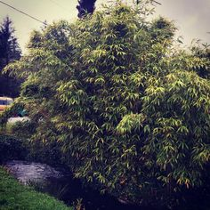 Full sized Pseudosasa japonica by the ocean in Long Beach, WA. One of the best choices for salty sea air and saturated ground. Long Beach, Evergreen, Choices, Bamboo, Ocean, Good Things, Plants, Instagram, The Ocean