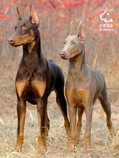 Doberman colors: Red with rust markings; Fawn (dilute of red)