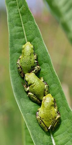 Peas in a pod (Pacific Tree Frogs)