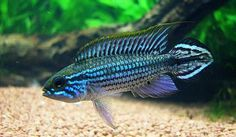 "I love GBR but looking for another, similar ""centerpiece fish"" - The Planted Tank Forum"