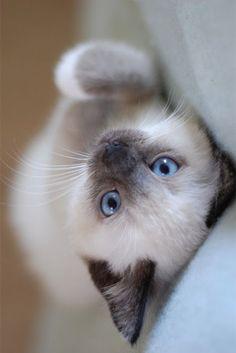 So cute <3 O Gato Siames é uma raça natural, a sua coloração é o resultado de uma mutação genética. Ele tem contribuído para muitas outras raças... descubra agora.