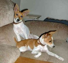 rat terrier puppies missouri