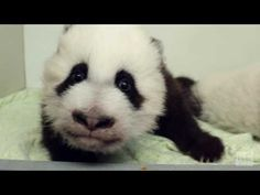 """Introducing """"Lun Lun's Elegant and Happy Daughters""""  - ZooBorns"""