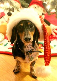 Odie at Christmas ~ Angela (too cute!) - photo via FunDoxie - Metro Detroit fb page